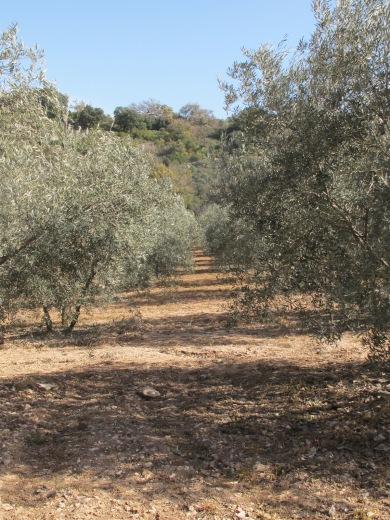 through juaquin's olives1