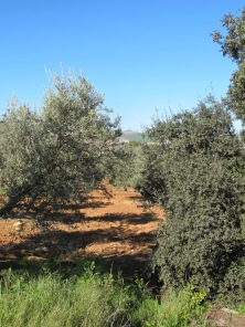 through the olive grove1