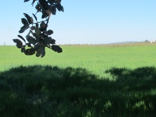 through the olive grove3