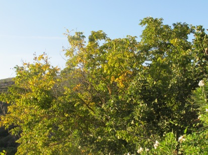 10 walnut, going yellow