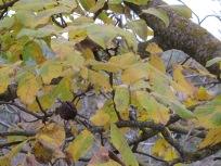 12 wrinkled walnuts on the tree