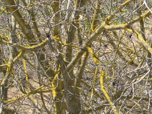 3 silvered walnut branches & yellow lichen