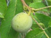 7 walnut, close-up1