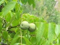 7 walnut, close-up2