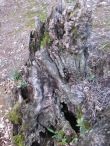 gnarled olive stump