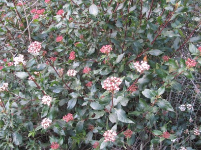 viburnum, durillo in Spanish