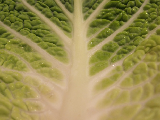 cabbage leaf, close-up