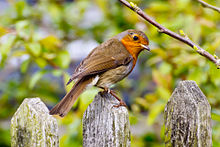 A_robin_sitting_on_a_fence