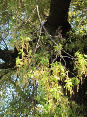 holm oak with catkins1