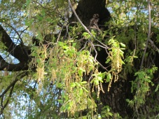 holm oak with catkins2