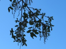 holm oak with catkins3