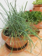 chives - in pot