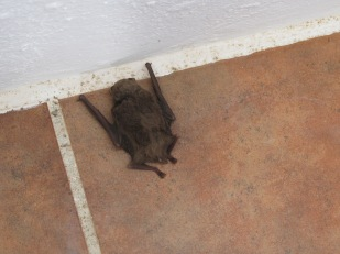 a bat, asleep1