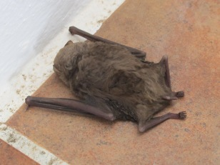 a bat, asleep2
