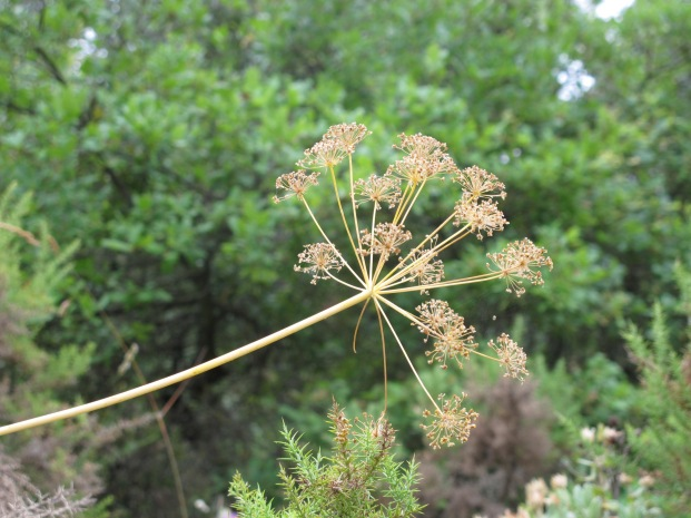 fennel, seeds dried and gone2