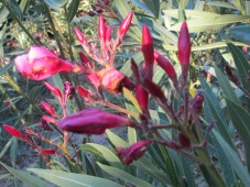new red flowers on oleander
