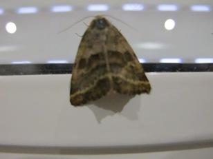 tiny moth1