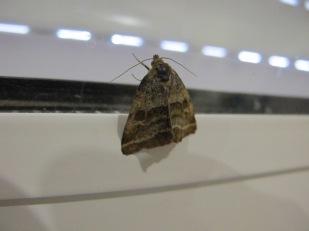 tiny moth2