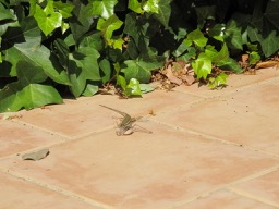 lizard v cricket1 - photo @Spanish_Valley