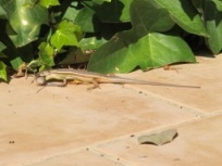 lizard v cricket2 - photo @Spanish_Valley