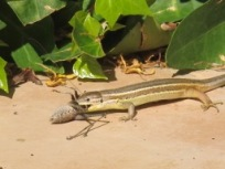 lizard v cricket3 - photo @Spanish_Valley