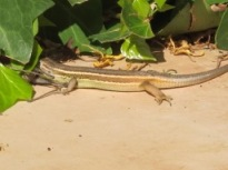 lizard v cricket4 - photo @Spanish_Valley