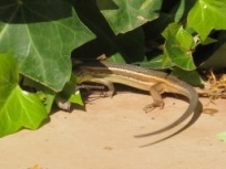 lizard v cricket5 - photo @Spanish_Valley