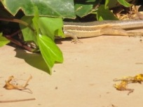 lizard v cricket6 - photo @Spanish_Valley